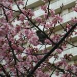 千葉市緑区役所前河津桜のメジロ