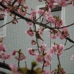 千葉市緑区役所前河津桜のヒヨドリ