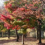 おゆみ野春の道の紅葉(2)
