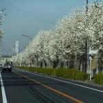鎌取線路沿いの木蓮