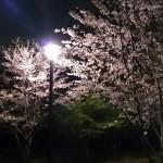 おゆみ野さくら公園の夜桜2017