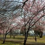 おゆみ野日枝神社の河津桜