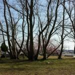 おゆみ野日枝神社広場の雑木