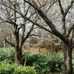 おゆみ野さくら公園の桜2016(1)