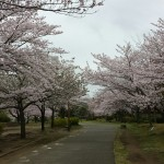 おゆみ野春の道の桜並木2016(2)