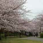 おゆみ野春の道の桜並木2016(3)