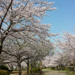 おゆみ野春の道の桜並木2016(1)