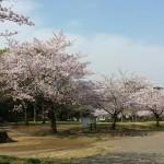 おゆみ野はるのみち公園の桜2016