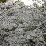 おゆみのさくら公園の桜2016(2)