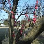 おゆみ野きなだ公園の梅