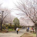 おゆみ野春の道の桜並木
