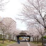 おゆみ野さくら公園の桜並木