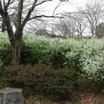 おゆみ野さくら公園の雪柳